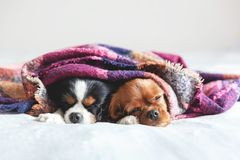 Two dogs sleepeing together under the blanket. Two dogs sleepeing together under the warm colorful blanket royalty free stock image