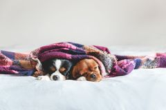 Two dogs sleepeing together under the blanket. Two dogs sleepeing together under the warm colorful blanket stock images