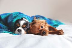 Two dogs sleepeing together under the blanket royalty free stock images