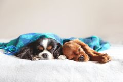Two dogs sleepeing together under the blanket. Two dogs sleepeing together under the warm blanket royalty free stock images