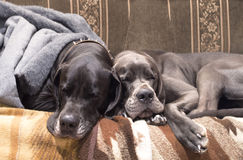 Two cute dogs sleeping. Cute dogs sleeping on a couch royalty free stock images