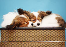 Two dogs sleeping Royalty Free Stock Photo