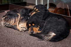 Two dogs sleeping of shop in Istanbul, Turkey stock photo
