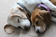 Two DOgs Sleeping Together. These two dogs love to cuddle up together when they are sleeping by the fire. They are best friends royalty free stock images
