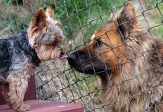 Two dogs, a small dog licking a big dog by the nose. stock photography