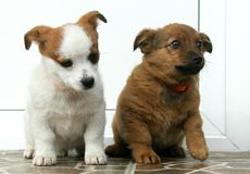 Two dogs. A snapshot with two little dogs Royalty Free Stock Photos