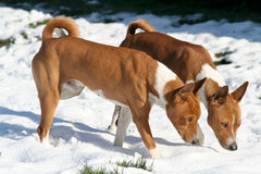 Two dogs sniffing snow. To find hidden treats Stock Photography