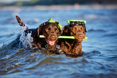 Two dogs with snorkeling equipment Stock Photos
