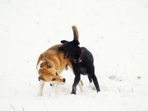Two dogs in the snow (4). Winter season Royalty Free Stock Photo