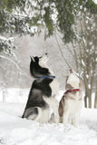 Two Dogs in snow executes the command to serve royalty free stock photo