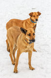 Two Dogs. Stock Images
