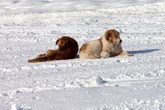 Two dogs on snow Royalty Free Stock Image