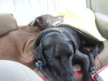 Two Dogs Snuggling in Backseat of Car Royalty Free Stock Photography