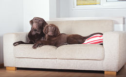 Two dogs on a sofa Stock Photo