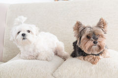 Two dogs on sofa Royalty Free Stock Image