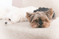 Two dogs on sofa Stock Image