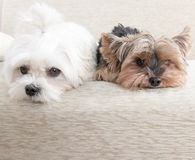 Two dogs on sofa Royalty Free Stock Photography