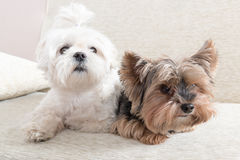 Two dogs on sofa Royalty Free Stock Photo