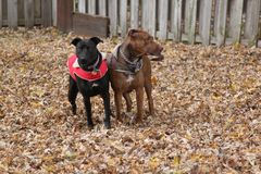 Two dogs stand in fall leaves with jackets on. The female black dog has a red jacket, the male red brindle dog has a camouflage jacket, standing in fall leaves Royalty Free Stock Photos
