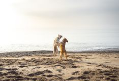 Two dogs playfully wrestle on a beach royalty free stock images