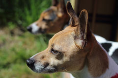 Two dogs standing together jack russell terriers. Dogs looking out in garden jack russell terriers  Pets at home tame and trained Stock Photo