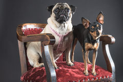 Two dogs staring straight into the camera while on a majestic red chair. Two dogs, one seated and one standing, have been shot staring straight into the camera Stock Photography