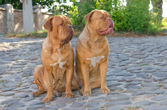 Two dogs on the street Stock Images