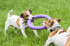 Two dogs struggle playing tug war game. Pair of Jack Russell Terriers playing with puller toy Royalty Free Stock Photography