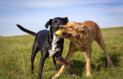 Two dogs struggling for tennis ball in field. Two cute dogs struggling over one green tennis ball in their mouths in field stock photography