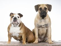 Two dogs in a studio. Two funny dogs sitting in a studio. Best friends as a team royalty free stock photos