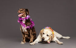 Two Dogs Studio Portrait Royalty Free Stock Image