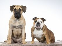 Two dogs in a studio. Two funny dogs sitting in a studio. Best friends as a team. Bulldog and Dogo Canario puppy royalty free stock photos