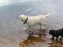 Dogs swim in the cold lake, собаки купаются в холодном озере royalty free stock photography