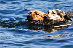 Two dogs swimming in lake. Two dogs swimming together in water or lake Royalty Free Stock Photo