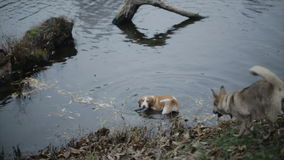 Two dogs are swimming in the lake. stock video footage