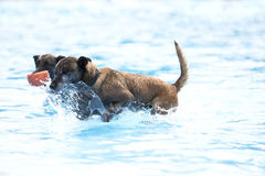 Two dogs in swimming pool, Belgian Shepherd Malinois Stock Photo