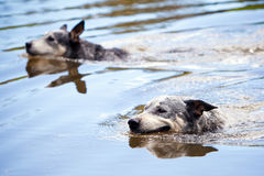 Two Dogs Swimming in Water stock images