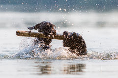 Two dogs swimming with a wooden stick. Two Standard Schnauzer dogs swimming in the water with a wooden stick stock photo