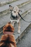 Two dogs talking in street. Cute brown sharpei and scared grey stray dog chatting on stairs. Conversation among animals royalty free stock photography