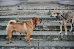 Two dogs talking in street. Cute brown sharpei and scared grey stray dog chatting on stairs. Conversation among animals stock photos