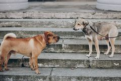 Two dogs talking in street. Cute brown sharpei and scared grey stray dog chatting on stairs. Conversation among animals stock image