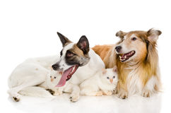 Two dogs and tiny kittens. Royalty Free Stock Photos
