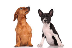 Two dogs together Stock Images