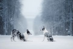 Two dogs together, friendship on nature in winter stock photo