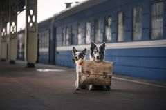 Two dogs together. Meeting at the station. Travelling royalty free stock photography