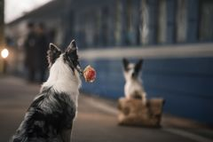 Two dogs together. Meeting at the station. Travelling stock images