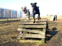 Two dogs training Royalty Free Stock Images