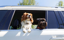 Two dogs traveling in car Royalty Free Stock Image