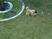 Two dogs in a tropical garden. Pets beside a fish pond as seen in a garden in the caribbean stock video footage