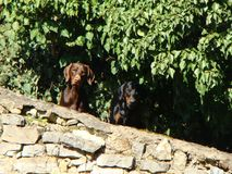 Two dogs. True friends of man and the defenders of his property. Watch from bushes on all events Royalty Free Stock Photography
